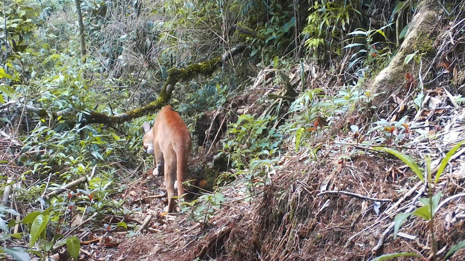 A onça  parda  na trilha do Caledônia (Reproduções do vídeo)