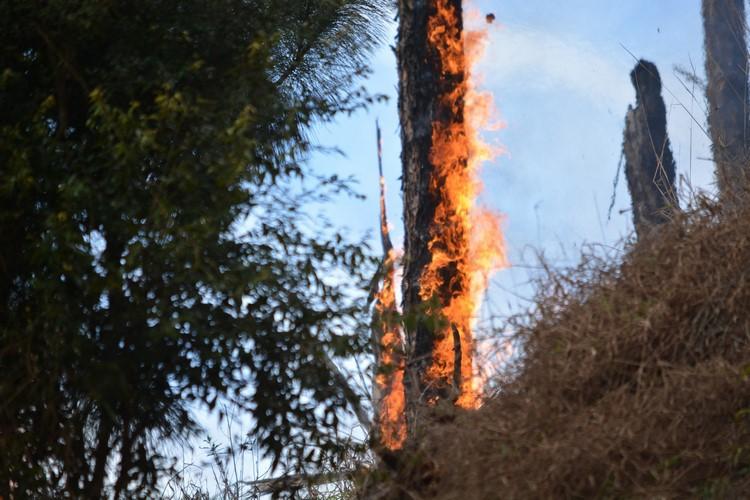 Numa imagem marcante, um tronco queimado lembra uma santa observando a árvore arder em chamas na mata da Via Expressa (Foto: Henrique Pinheiro)