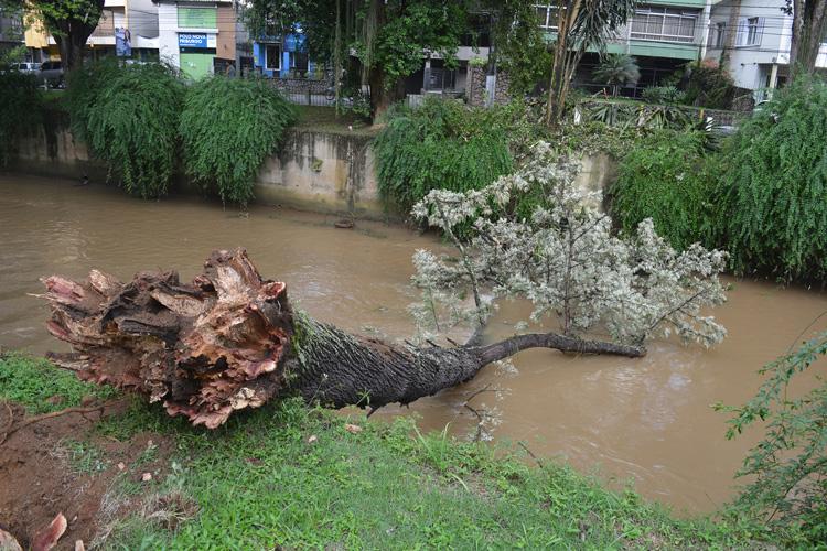 A árvore que tombou no leito do Bengalas (Foto: Henrique Pinheiro)