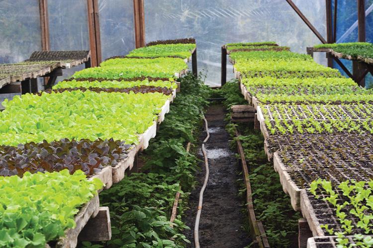 Produção de orgânicos do Sítio Cultivar (Fotos: Henrique Pinheiro)