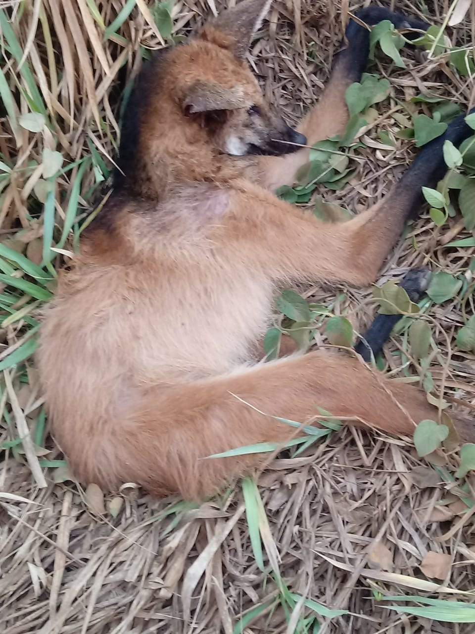 A lobo-guará fêmea encontrado em Cantagalo (Reprodução da web)