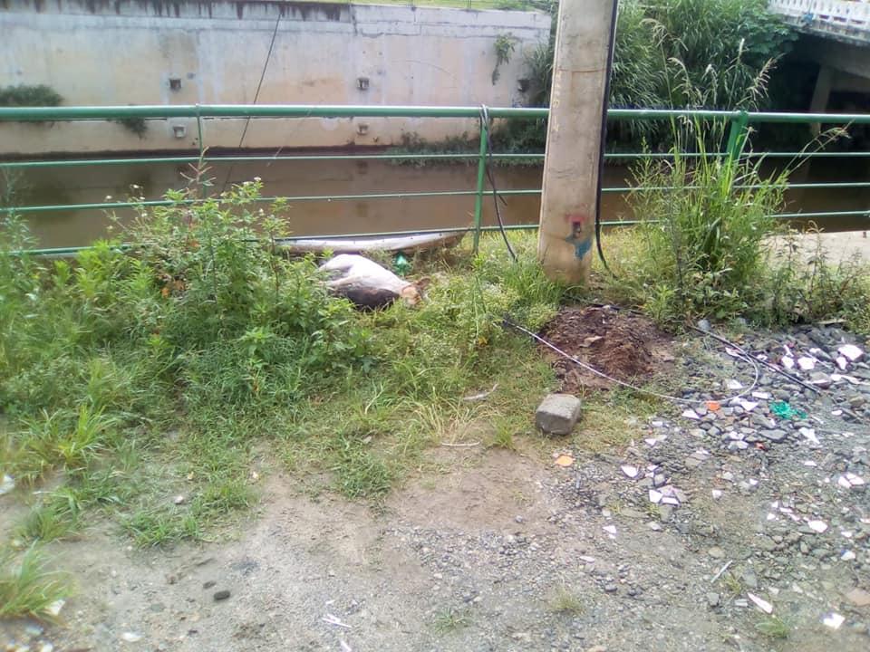 Um dos animais mortos junto ao poste onde houve a descarga elétrica (Foto de leitor)