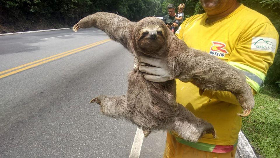 A preguiça  ao ser resgatada (Divulgação Rota 116)
