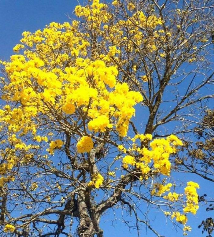 Ipês em flor em Friburgo neste fim de inverno (Foto: Adriana Oliveira)