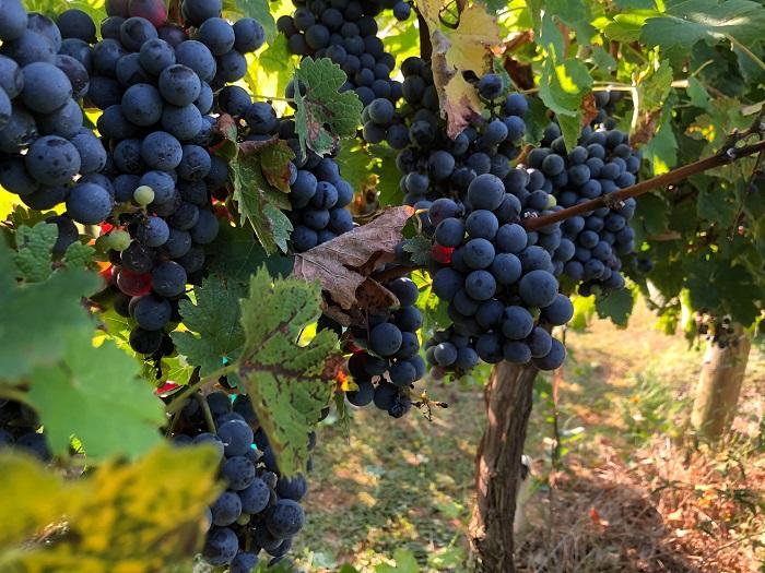 Cabert Franc é a uva que vem sendo cultivada em Campo do Coelho há dois anos