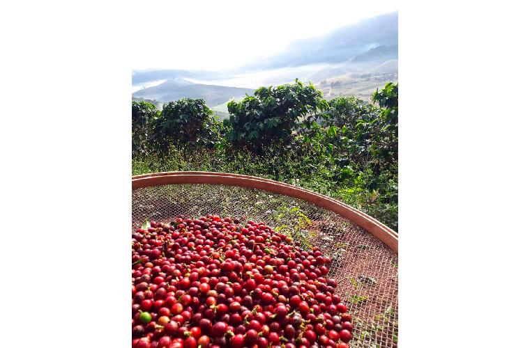 Café produzido no Estado do Rio é um dos melhores do Brasil