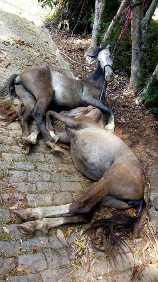 Os cavalos mortos amarrados a uma árvore na Estrada Cascatinha-São Lourenço (Reprodução da web)