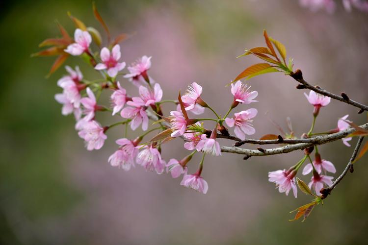 Cerejeira em flor (Foto: Henrique Pinheiro)
