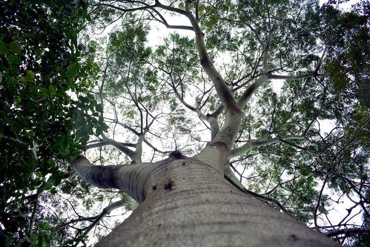 Árvore majestosa em Nova Friburgo (Fotos: Henrique Pinheiro)