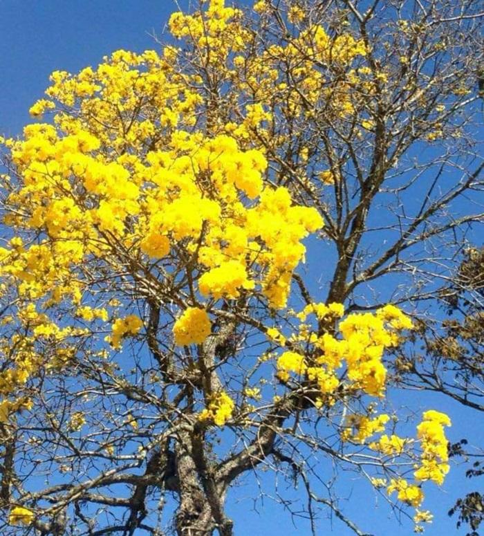 Ipê amarelo florido em Friburgo (Foto: Adriana Oliveira)